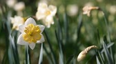 jonquil : Bloom of narcissus