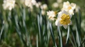 jonquil : Bloom of narcissus in the garden in evening light. Place for your text.