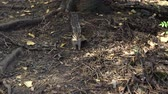 ardilla : Chipmunk running through the woods in search of food. Squirrel family