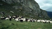 kuzu : Black and white goats graze in a green meadow in the stone mountains Stok Video