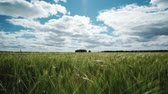 wheat field in spring, beautiful rural landscape, green grass and blue sky with clouds
