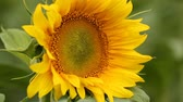 pólen : Storyboard with sunflowers. Many different shots with defocus, large shots, and bugs.