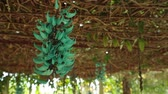 jade : Strongylodon macrobotrys, commonly known as jade vine, emerald vine or turquoise jade vine, high definition movie clip stock footage. Tayabak. Stock Footage