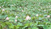 készletek : Water lilies nymphaeaceae in pink in a lily pond, with a green foliage background high definition stock footage. Stock mozgókép