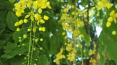 florystyka : Cassia fistula or golden shower tree yellow flowers, panning panoramic high definition stock footage video clip.