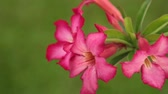 сок : Adenium obesum also known as desert rose in vibrant pink, panning panoramic high definition stock footage video clip.