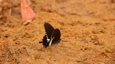 riverbank : Butterfly spicebush swallowtail papilio troilus from the Papilionidae family, drinking water from the sandy riverbank, high definition stock footage clip. Stock Footage