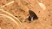 бабочки : Butterfly spicebush swallowtail papilio troilus from the Papilionidae family, drinking water from the sandy riverbank, high definition stock footage clip. Стоковые видеозаписи