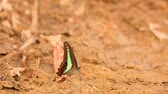 riverbank : Butterfly  common bluebottle graphium sarpedon luctatius from the Papilionidae family, drinking water from the sandy riverbank, high definition stock footage clip.