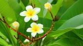flowering : Plumeria rubra or common frangipani flowering tree with white and yellow blooming flowers and vibrant green foliage, panning panoramic high definition stock footage video clip.