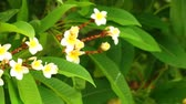 kvetoucí : Plumeria rubra or common frangipani flowering tree with white and yellow blooming flowers and vibrant green foliage, panning panoramic high definition stock footage video clip.