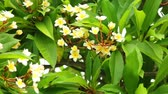 плюмерия : Plumeria rubra or common frangipani flowering tree with white and yellow blooming flowers and vibrant green foliage, panning panoramic high definition stock footage video clip.
