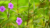 wijnbladeren : Ruellia tuberosa of Minnie Root of Fever Root of Snapdragon Root wilde bloemenweide, korte opwaartse panning camera met ondiepe scherptediepte. Bokeh achtergrond, ondiepe scherptediepte.