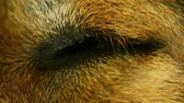 adormecido : Dogs eye closed then opening while it sleeps, macro closeup static shot with shallow depth of field bokeh. Stock Footage