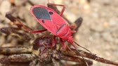 shallow depth field : Man faced bug or fire bug or red bug insect stood on a dead spider, macro close up static shot in hd with bokeh background.