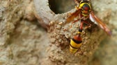 Potter wasp busy activity building its nest of mud, close up macro detail static shot in hd. Stock Footage