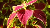 hue : Vibrant red, green leaves of the coleus plant sunlit garden scene, panning close up shot. Stock Footage