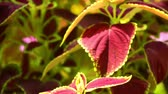 növényzet : Vibrant red, green leaves of the coleus plant sunlit garden scene, panning close up shot. Stock mozgókép