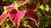 pokrzywa : Vibrant red, green leaves of the coleus plant sunlit garden scene, panning close up shot. Wideo