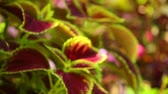 perennial : Defocused vibrant red, green leaves of the coleus plant sunlit garden scene, static close up shot. Stock Footage