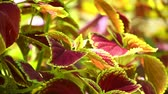 hue : Vibrant red, green leaves of the coleus plant sunlit garden scene, static close up shot. Stock Footage