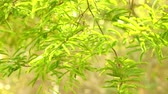 living environment : Vibrant green foliage of the tamarind tree catching the afternoon sunlight, bokeh nature backdrop. Static shot with beautiful green tropical vegetation. Stock Footage