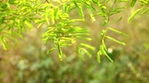 Vibrant green foliage of the tamarind tree catching the afternoon sunlight, bokeh nature backdrop. Static shot with beautiful green tropical vegetation. Stock Footage