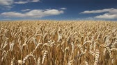 field : Golden wheat fields, timelapse Stock Footage