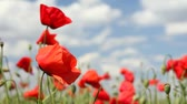 landscape : Beautiful poppy flowers dancing in the wind, sunny and cloudy day