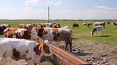trough : Cows grazing on pasture, watering place on a sunny and hot day