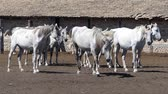 domestic : Beautiful white Lipizzaner horses at the farm Stock Footage