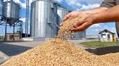 Wheat grain in a hand after good harvest of successful farmer, slow motion