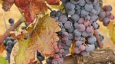 enology : Red wine grapes in a vineyard