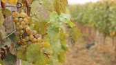 enology : White wine grapes in a vineyard, ready for picking