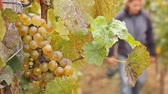 enology : Farmer picking white wine grapes in vineyard