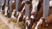 krajina : Dairy Farm, Simmental cattle, cows on farm