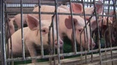 piglets : Piglets in pork farm