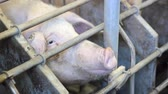 piglets : Pigs on a farm, two video clips