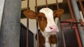 cow birth : Calf in a cowshed Stock Footage