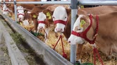 cow birth : Calves and Cows in Cowshed Stock Footage