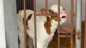 moço : Hungry and cute calf in the barn Stock Footage