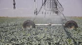 ограничение : Irrigation of cauliflower in the field