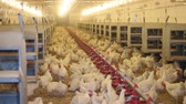 male animal : Chicken Farm, flock of birds, eggs and poultry production Stock Footage