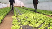 botany : Farmers working in the greenhouse, picking salad