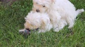 lovable : Maltese puppy playing in a backyard