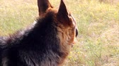 fiel : German Shepherd Dog, close up in meadow