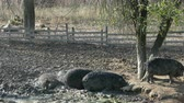 sows : Happy pigs rolling in mud. Mangalitsa - The Woolly Sheep-Pig, healthy environment and organic food production