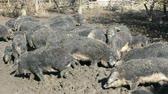 yünlü : Domestic pigs feeding in mud. Mangalitsa - The Woolly Sheep-Pig, healthy environment and organic food production Stok Video