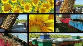 медовый : Beekeeper controls honeycomb and bees in a hive near the sunflower field, collage