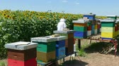 melado : Beekeeper controls honeycomb and bees in a hive near the sunflower field Stock Footage